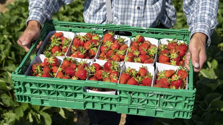 Nichts schmeckt so sehr nach Frühsommer wie frisch gepflückte, süsse Erdbeeren.