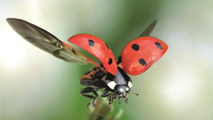 Bei Gefahr scheiden die Käfer ein gelbliches Sekret aus speziellen Poren, das nicht nur übel stinkt und widerlich schmeckt, sondern für Angreifer wie Ameisen oder Vögel auch giftig sein kann.