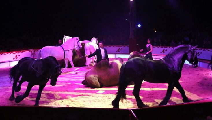 Die Kamele zeigen sich in der Nummer von Franziska Nock vom Treiben rundherum sichtlich unbeeindruckt.