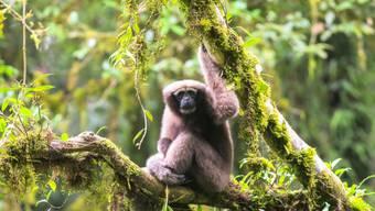 Bislang wurde er zu den Östlichen Weissbrauengibbons (Hoolock leuconedys) gezählt, ist aber eine eigene Art: der Skywalker Hoolock Gibbon (Hoolock tianxing).