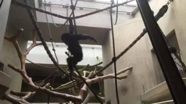 Schimpansen im Basler Zoo