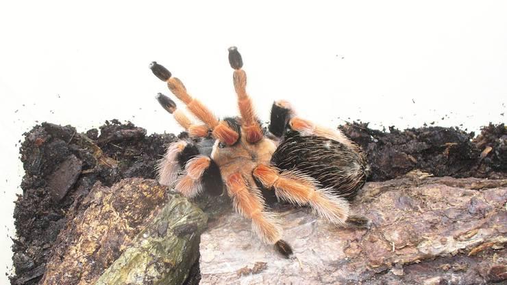 An der Grenze wurden auch gefährliche Tiere entdeckt. Ein Schweizer wollte vier Vogelspinnen einführen. ZVG