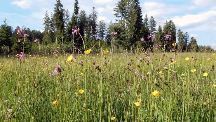 Naturnahe Wiesen in der Kulturlandschaft sollen die Artenvielfalt fördern. So vielfältige und hochqualitative Flächen wie hier sind jedoch rar im Mittelland.