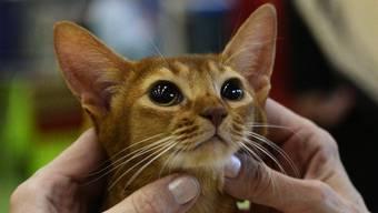 Das BAG warnt vor Ansteckungsrisiko durch Katzen (Symbolbild)
