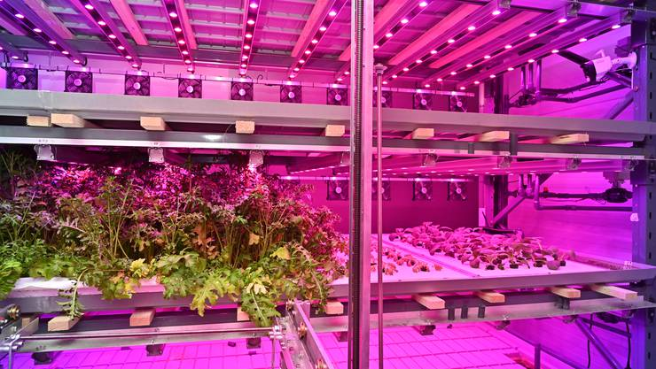 Gemüse und Salat aus dem Labor: Ab dem 16. Juni können solche Produkte aus einer «Vertical Farm» in der Migros-Filiale im Dreispitz gekauft werden.