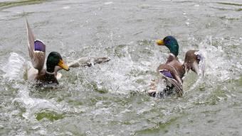 """Action"": kämpfende Stockenten Erpel (gesehen an der Grün 80)"