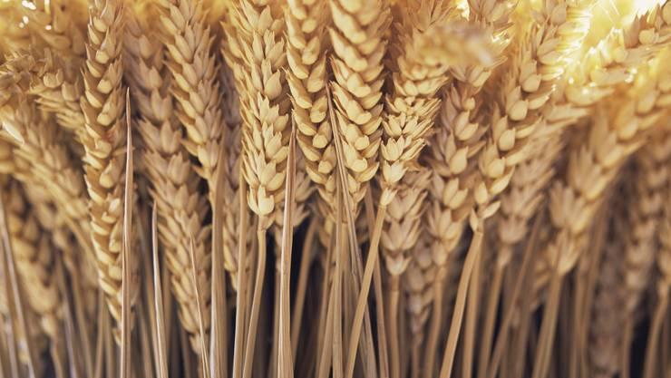 Weizen war für den Staat geeignet, als gut besteuerbares Korn. Bild: Getty Images