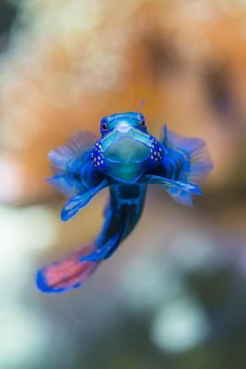 Sein Verbreitungsgebiet erstreckt sich über die Philippinen, Japan, Afrika und Sri Lanka bis hin nach Australien.