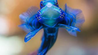 Der Mandarinfisch: Die bunte Schönheit im Vivarium
