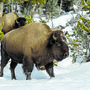 Bisons im Yellowstone Nationalpark.