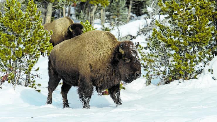 Bisons im Yellowstone Nationalpark.
