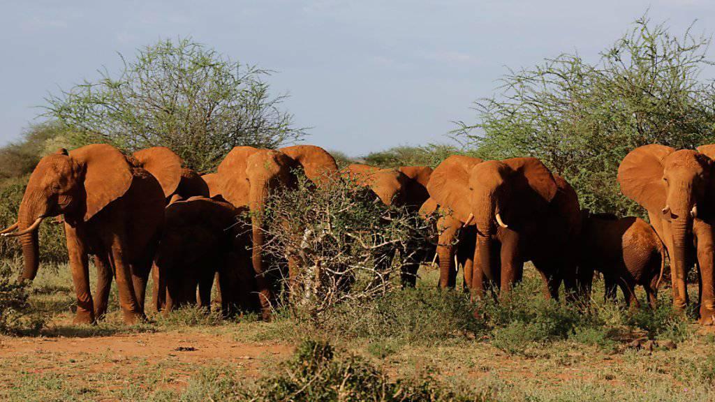 Elefanten werden in Afrika weniger gewildert, gehen in ihrer Zahl aber trotzdem zurück (Archiv)