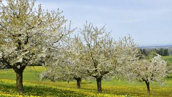 Obstbäume im Thurgau (Archiv)