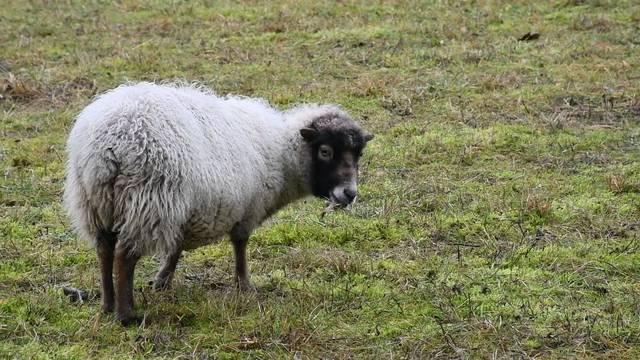 «The Sheep Project»: Schafe mähen für die Fachhochschule