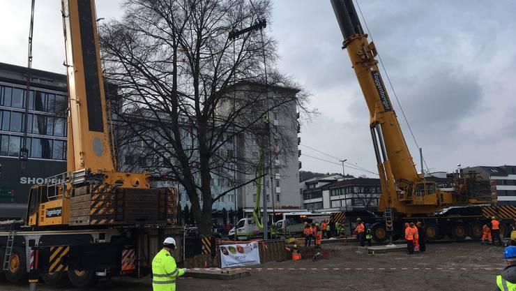 Gestern wurde die Rotbuche im Schlieremer Stadtzentrum in den nahegelegenen Park versetzt.