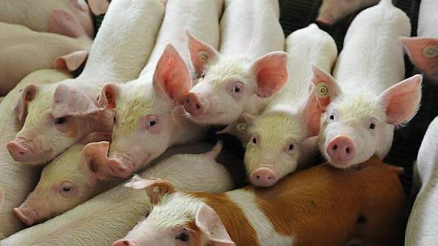 Auch Schweinezuchten sind betroffen