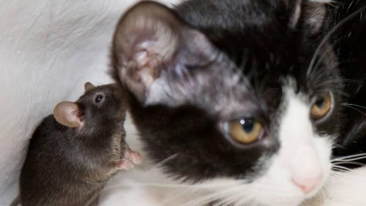 Diese furchtlose Maus könnte an Toxoplasmose leiden. Genfer Forscher haben nun bewiesen, dass der Befall mit diesem Parasiten nicht nur spezifisch die Angst vor Katzen beseitigt, sondern das ganze Verhalten beeinflusst. (Archivbild)