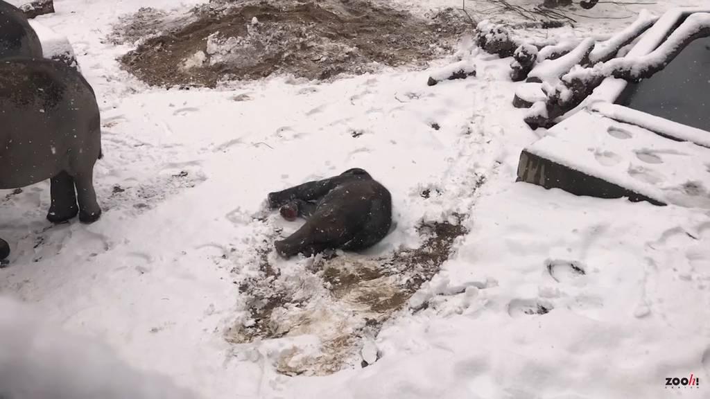 Der Elefantenjunge Umesh wälzt sich zum ersten Mal im Schnee