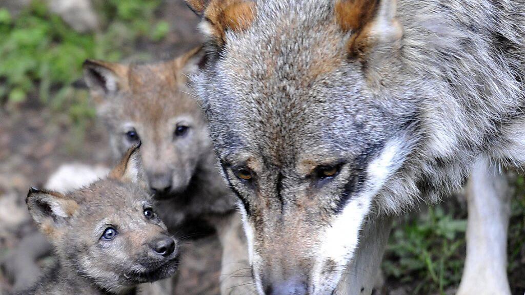 Wölfe richten im Wallis 114'000 Franken Schaden an Nutztieren an