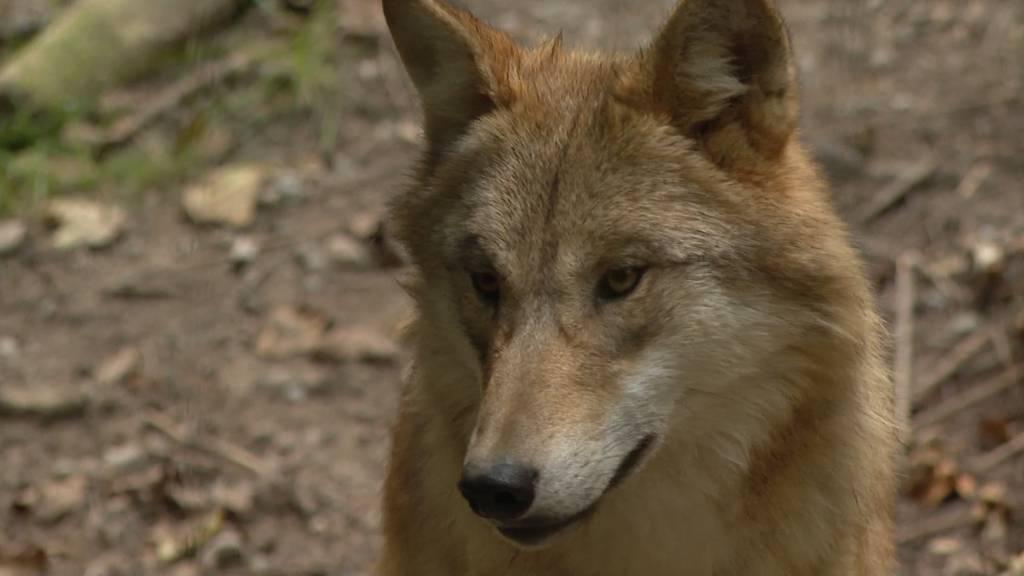 Zoo Zürich setzt sich gegen das Jagdgesetz ein