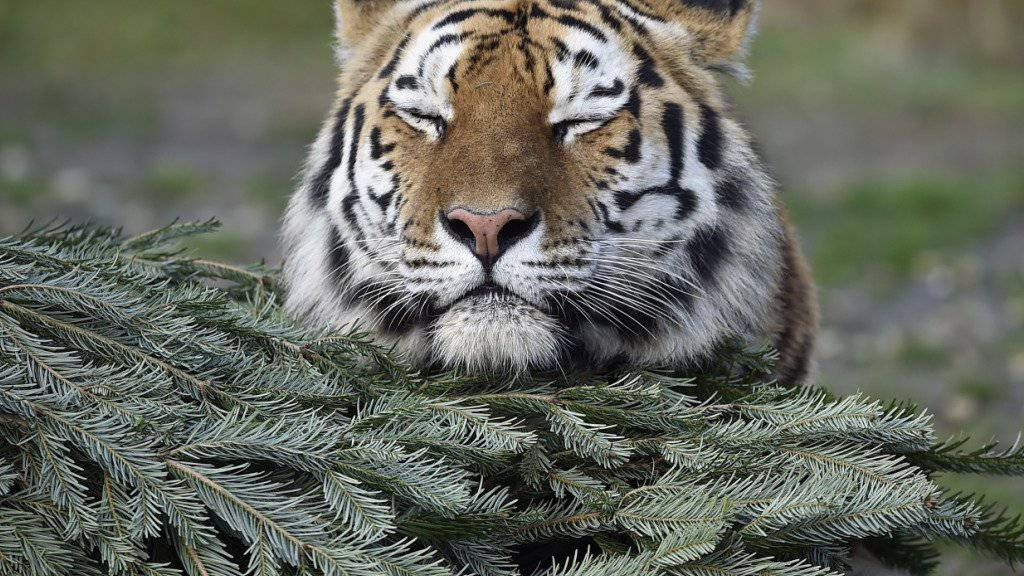 Ganz friedlich ist Tiger Amur mit dem Ziegenbock Timur, den er eigentlich als Futter gekriegt hat. Jetzt beobachtet eine Webcam die tierische WG. (Symbolbild)