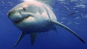 Hai attackiert eine 14-Jährige in Neuseeland (Symbolbild)