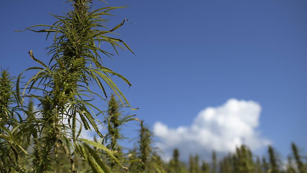 Nationalrat berät Experimentierartikel für Cannabis