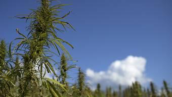 Der Nationalrat diskutiert über die Zulassung wissenschaftlicher Versuche mit Cannabis. (Archivbild)