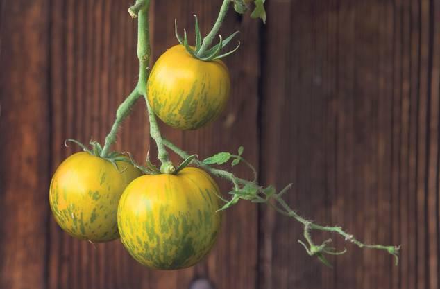Die Tomate Grüne Zebra wird nur leicht gelblich, wenn sie reif ist. Sie wächst kräftig und bildet saftige, sehr geschmackvolle Früchte aus.