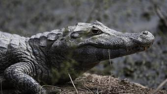 Nach Überschwemmungen sind in Indien Krokodile in einer Stadt aufgetaucht. (Symbolbild)