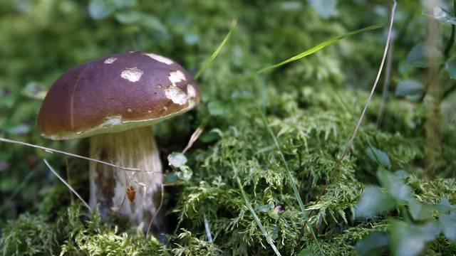 Pilzesammeln kann ganz schön gefährlich sein (Archiv)