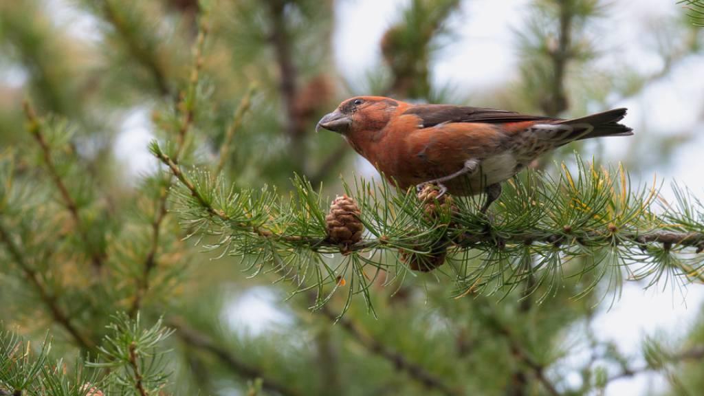 Der Fichtenkreuzschnabel ist ein sehr spezialisierter Vogel, der sich hauptsächlich von Samen reifer Fichtenzapfen ernährt.