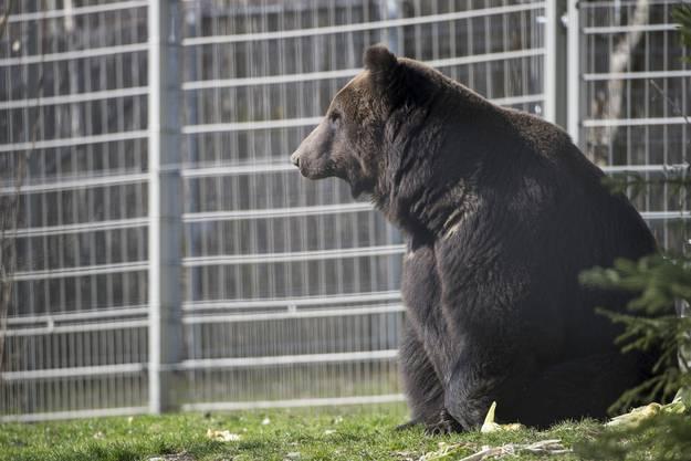 Der Bärenvater Misha.