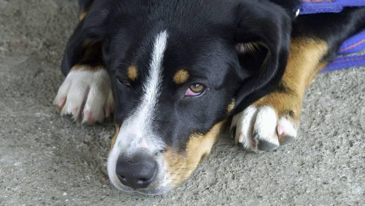 Hunde werden besonders oft Opfer von Misshandlungen und vor allem Vernachlässigungen. (Symbolbild)