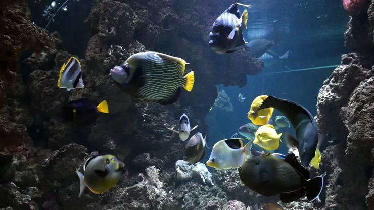 In der Mitte mit Streifen: Das Imperator-Kaiserfisch-Weibchen, oben hinter ihr schwimmt ihre Nummer zwei.