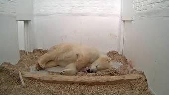 Eisbärin Tonja mit ihrem kleinen kurz nach der Geburt. Das Eisbärenjunge ist am Dienstag gestorben. (Archiv)