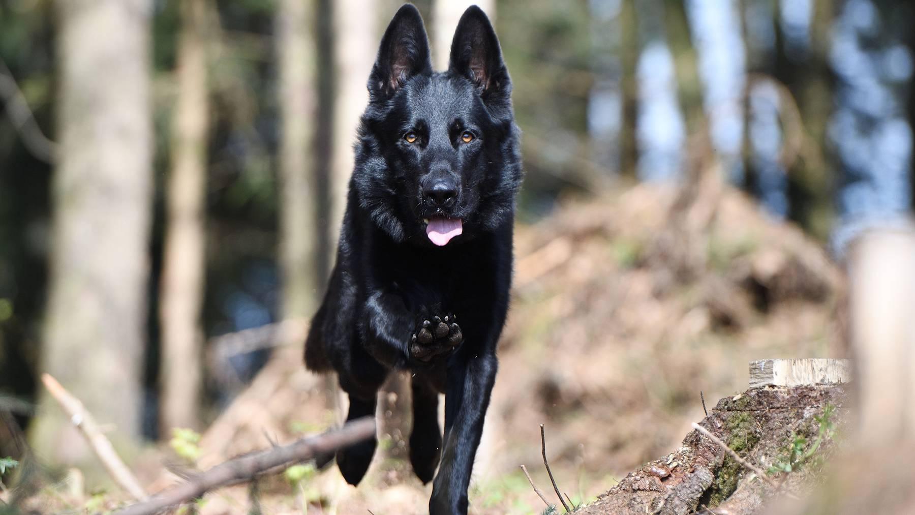 Polizeihund rettet Unterkühlten in Zugersee