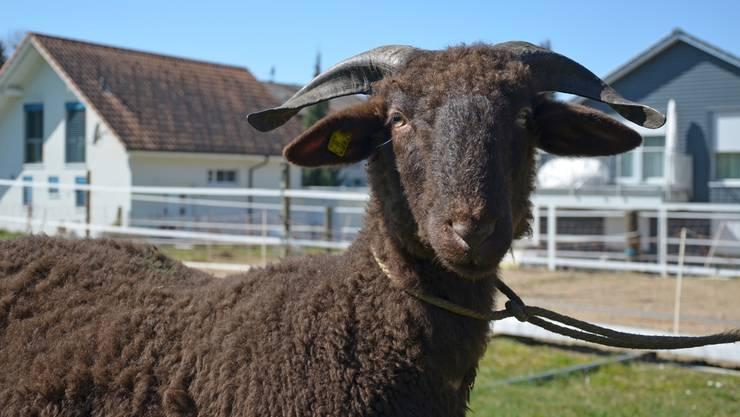 Globi, ein Walliser Landschaf, hat 11 Monate zu leben. Auf den oberen beiden Bildern (zusammen mit Viehzüchter Hansruedi Friedli) ist er zehn Monate alt. Nach der Schlachtung: Globi in seinen Einzelteilen. Mit kuhteilen.ch soll der bewusste Fleischkonsum gefördert werden.