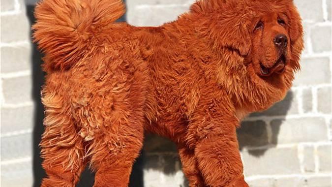 Dieser Hund ist eine Million britische Pfund wert