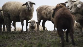 Einige Schafe sind im Kanton Zürich von einem Zug erfasst worden. (Symbolbild)