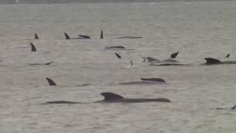 Bereits am Montag sind 270 Wale gestrandet. Gerade 25 Tiere konnten gerettet werden.