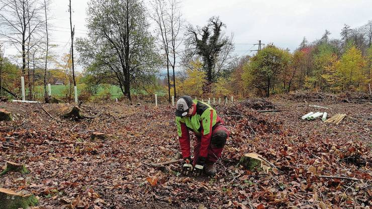 Die Zerr- und Flaumeichen werden gepflanzt: Am Waldrand Langermarchstein auf der Baldegg wird ihre Entwicklung untersucht.