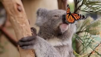 Nicht geplant, aber ein Glücksfall für den australischen Wildpark: Dank dieses Schmetterlings verbreitet sich das Video von Willow jetzt rund um den Erdball.