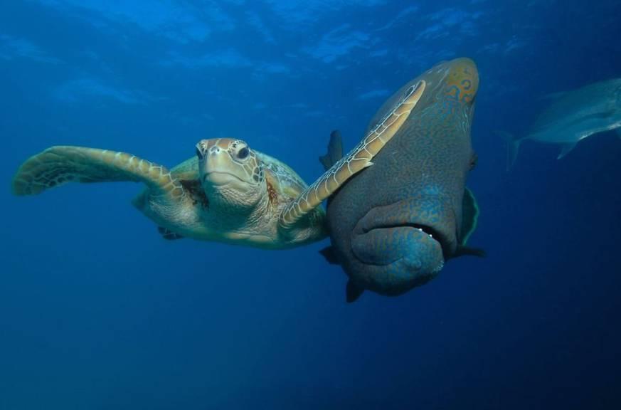 Dieses Foto einer Schildkröte und eines Fisches wurde von George Cathcart, CWPA, Barcroft Images letztes Jahr eingereicht.