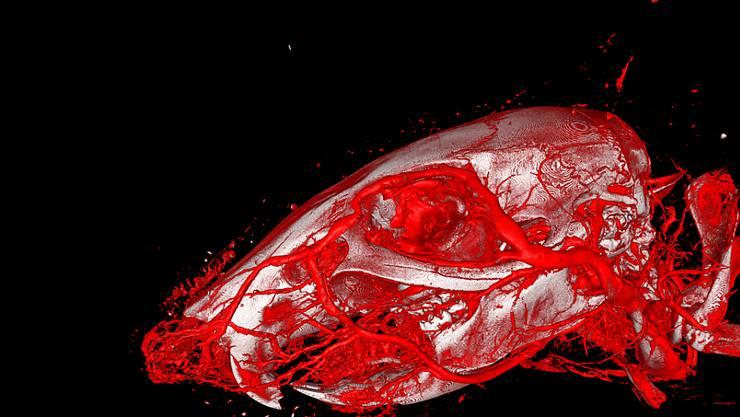 Dreidimensionale Darstellung der Blutgefässe eines Mäusekopfes mit Hilfe von Röntgencomputertomografie und des neu entwickelten Kontrastmittels XlinCA.