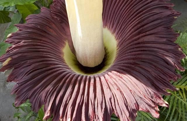 Ein äusserst seltener Anblick - die Blüte der grössten Blume der Welt