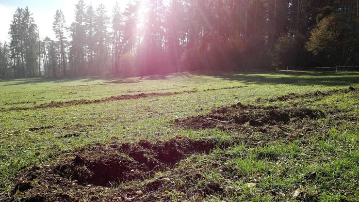 Auf dem Dinkelfeld von Bauer Edgar Kupper in Laupersdorf haben die Wildschweine deutliche Spuren hinterlassen.