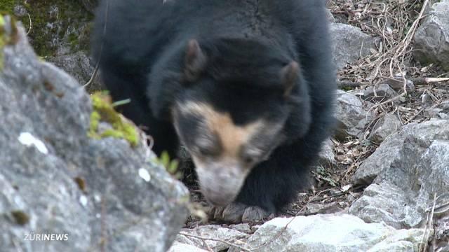 Brillenbären im Zoo Zürich geboren