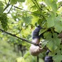 Während viele Agrarbereiche unter der momentanen Trockenheit leiden, können die Weinbauern dem Wassermangel auch etwas Positives abgewinnen: Krankheiten treten seltener auf. (Archivbild)