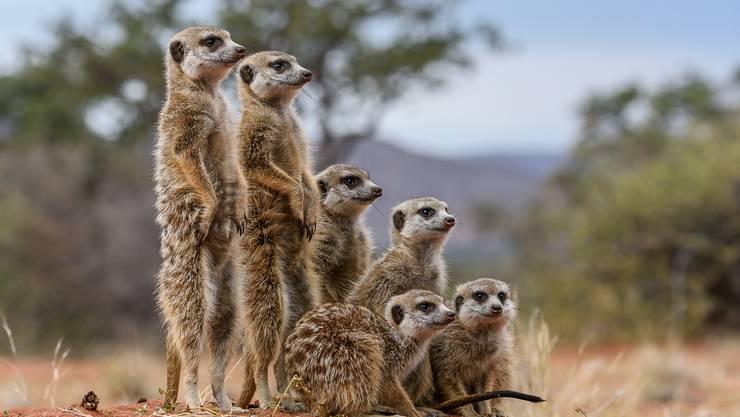Erdmännchen in der Kalahari-Wüste.